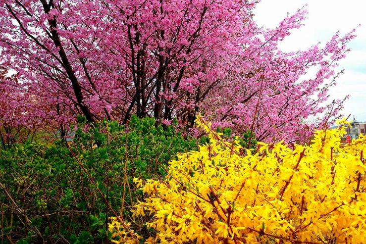 Аллея сакуры – украшение дендрария ВГУЭС